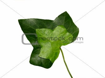 Threefold ivy leaf