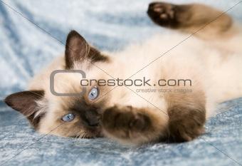 Playfull kitten