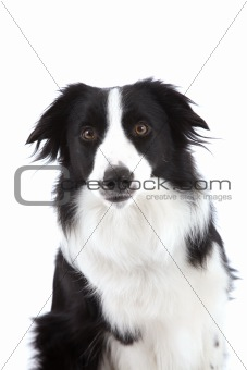 Curious sheepdog