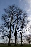 Three trees in winter