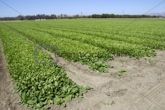 Spinach Crop