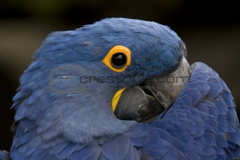 Blue Hyacinth Macaw Playing Peek A Boo