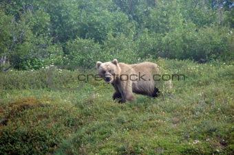 bears love fishing season!