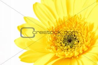 Close up of yellow gerber daisy