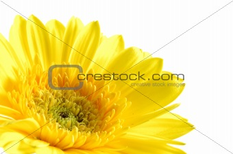 Close up of yellow gerber daisy