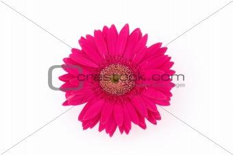 Close up of pink gerber daisy