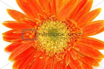 Close up of orange gerber daisy