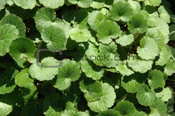 Greanium leaves