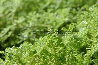 Tiny green leaves with shallow dof