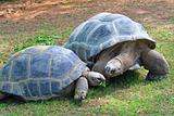 Aldabra Giant Tortoises