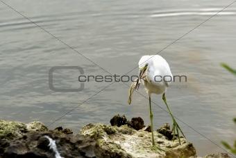 Fishing White Egret