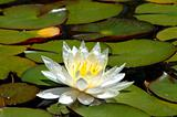 White Water Lily and Leaves