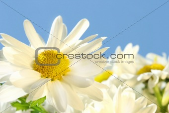 Daisies against the blue sky