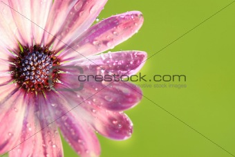 Pink daisy against green