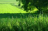 Summer fields of green