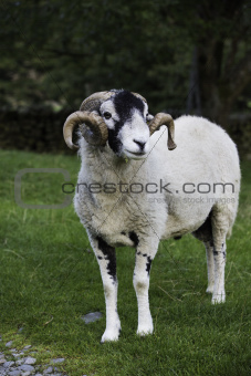 Recently shorn Herdwick ram