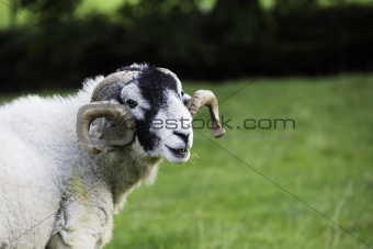 Herdwick ram with curled horns