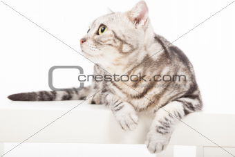 cat looking up and sitting on the table