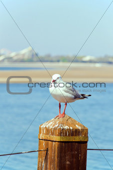 Serene Seagull in Summertime