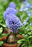 Grape hyacinth in a flower pot