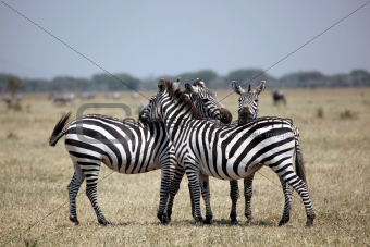 Three Zebras on the Lookout in Serengeti National Park