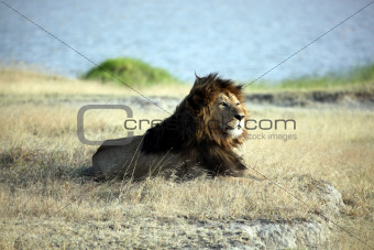 Elder Lion of Ngorongoro Crater