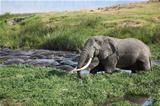 Rare Site:  Elephant Bathing with Hippopotamus in Ngorongoro Cra