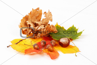 colorful autumn leaves chestnuts and acorn on white