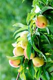 peach tree