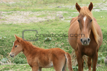 Mare and Colt in a Meadowpast