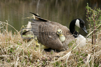 Canada Goose Gosling Getting Comfortable Under a Wing