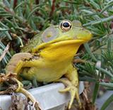 Bullfrog in Portulaca plant