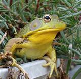 Bullfrog in Portulaca plant
