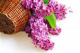 purple flowers of a lilac in basket