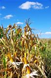 Field corn in the Autumn at Portugal