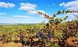 Grapes on vineyard