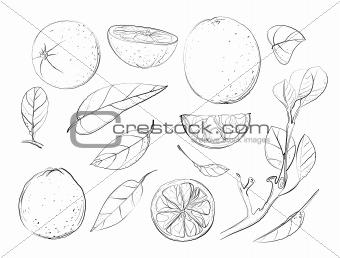 Sketch Oranges and Leaves Set