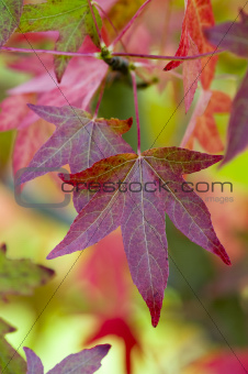 autumnal liquidambar leaves