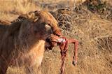 African lion with prey