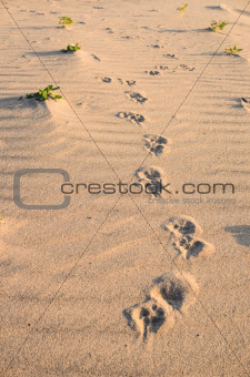 Dogs track in sand