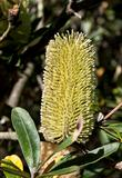 Banksia Flower
