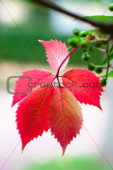 Five red leafs on branch