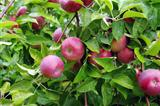 Apples Ready to Pick