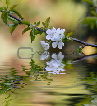 Plum tree blossom and reflection