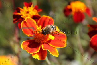 Bee on a flower close-up