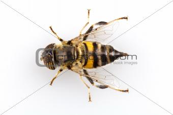 Eristalinus taeniops hoverfly isolated on white background