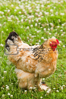 Decorative chicken in field with clover flowers