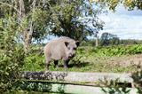 Wild boar in country house garden
