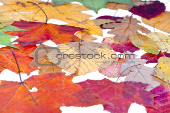leaf litter from deciduous leaves