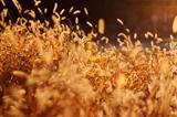 Grass backlit by sunshine.